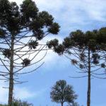 Programa Paraná Mais Verde fomenta plantio de araucária em Pato Branco