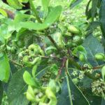 Investimentos fortalecem pesquisa da Unioeste sobre cultivo da erva-mate